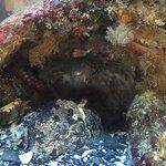 Pacific Octopus @ Ucluelet Aquarium