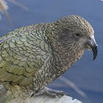 the kea roam freely in the large aviary that you walk through