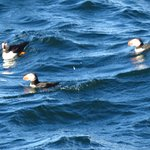 Atlantic Puffins in the sea
