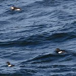Atlantic Puffin and Black Guilimont