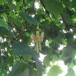 Flower of the Tulip Tree