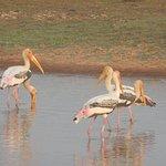 Painted Storks at Bengal Florican Grasslands