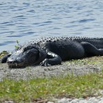 A very big alligator!