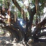 Photo of Banyan Tree Park