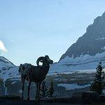 Big horn sheep posing