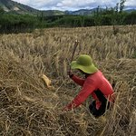 Harvesting of dry rice