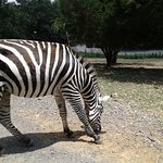 You have to feed the zebras on the ground. They're a bit aggressive.