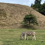 Zebra just liked grass today