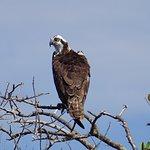 osprey giving us the eye !