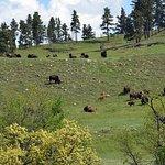 Buffalo on hillside viewed from Wildlife Loop Road.