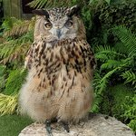 Thor the Turkmenian Eagle Owl who greets you when you arrive