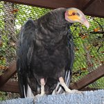 Lesser Yellow vulture
