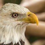 American Bald-Eagle