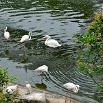 Flamingoes and pelican