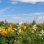 綺麗に咲いたニッコウキスゲ