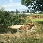 Tiger having a drink due to the sun!