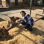 Alimentado o tigre com leite