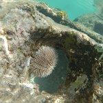 sea urchin on reef balls