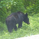 black bear cub in Cades cove area