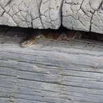 snake under building in cades cove