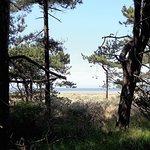 Pine trees behind Holkham beach