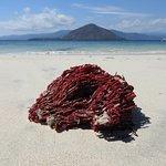 corail rouge echoué