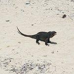 Smaller iguanas