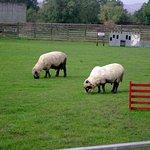 Aberfoyle Sheep