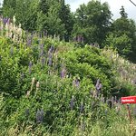 Lupins along the road