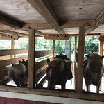 Ponies at the Smoky Mountain Deer Farm & Exotic Petting Zoo