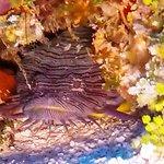 Splendid Toadfish (saw and heard 3)