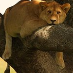 Fat cat in tree - Manyara the perfect day trip or spend a night or two at Isoitok Camp Manyara