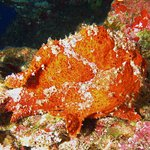 Another frog fish on back side of Molokini