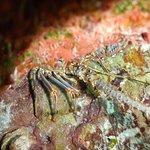 Lobster peeking out