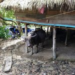 water buffalo lives under the house