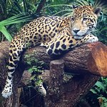 This is junior buddy, a jaguar ambassador to the zoo.