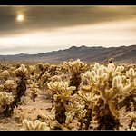 The Cholla seem to exude the sunlight upon sunrise.