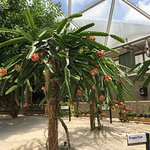 """Dragon fruit growing in """"Living with the Land"""""""