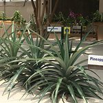"""Pineapple growing in """"Living with the Land"""""""