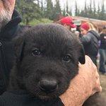 2 month old Alaskan Husky