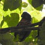 St Lucia parrot