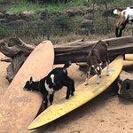 Surfing Goat Dairy의 사진