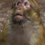 Monkey at the Cedar Forest in Azrou