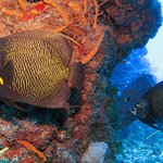 French Angelfish are not camera shy!