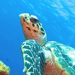 Hawksbill Turtle checking me out!