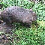 wombat eating at Blackbutt