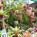 Some of the 200 different pineapple plant family members