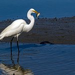 Great Heron with fish at Causeway into Huntington Beach Park