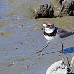 Semipalmated Plover at Causeway into Huntington Beach Park