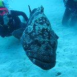 Mero gigante - big cod